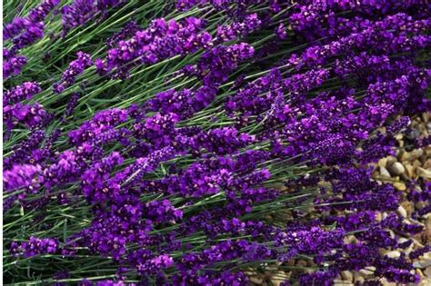 Lavandula Angustifolia Hidcote Blue 2479 by Hidcote Lavender Plants Blue Lavender From