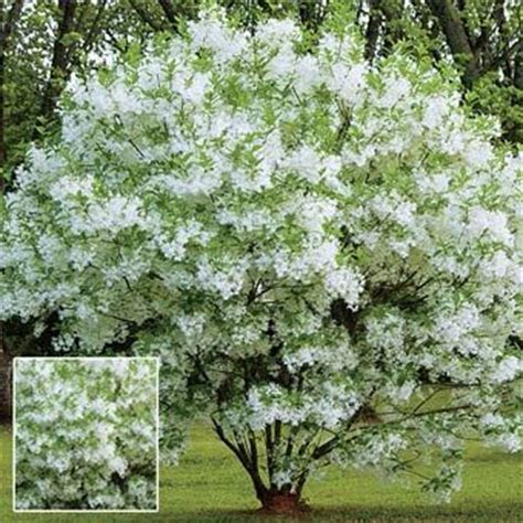 botanical trees tree types 1 landscaping pinterest grancy s greybeard hardy ornamental tree hardy to zone