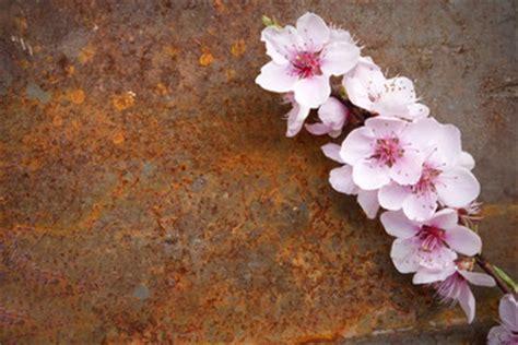 sfondi fiori di pesco cerca immagini quot fiori di pesco quot