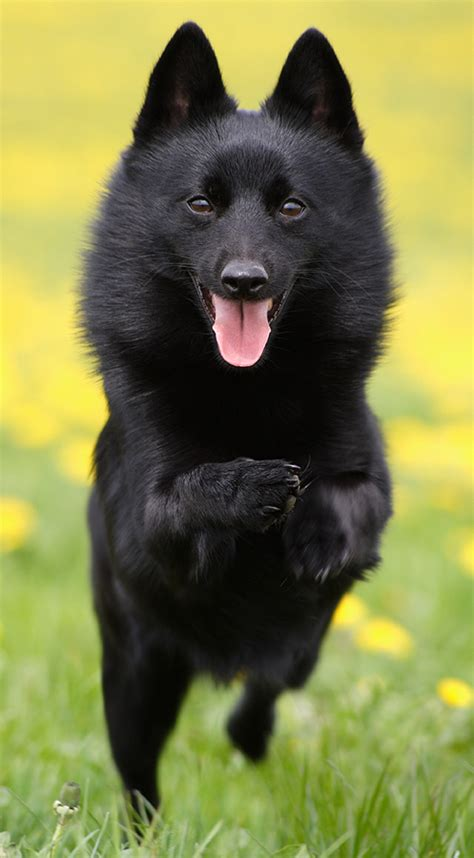 schipperke puppies schipperke breed info photos doglers