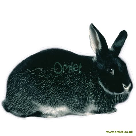 silver fox  sale rabbits breed information omlet