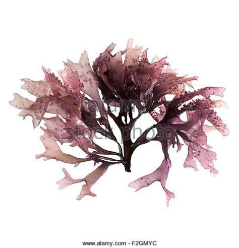 Atlantic Dulse Detox Brain by Dulse Seaweed Stock Photos Dulse Seaweed Stock Images