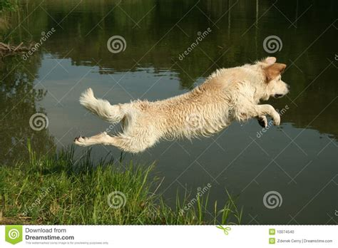 golden retriever jumping jumping golden retriever stock photo image 10074540