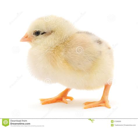 Small Chicken by Small Chicken Stock Photo Image 27299200