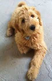grooming a mini goldendoodle wavy hair the 25 best goldendoodle haircuts ideas on pinterest