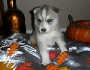 free puppies in morgantown wv pets morgantown wv free classified ads