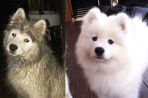 how much do samoyed puppies cost samoyed cross breeds