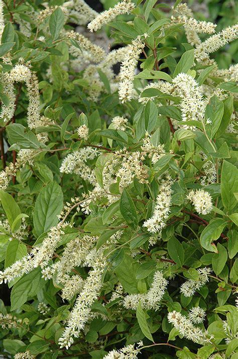 virginia sweetspire itea virginica in fayetteville springdale rogers bentonville ar arkansas