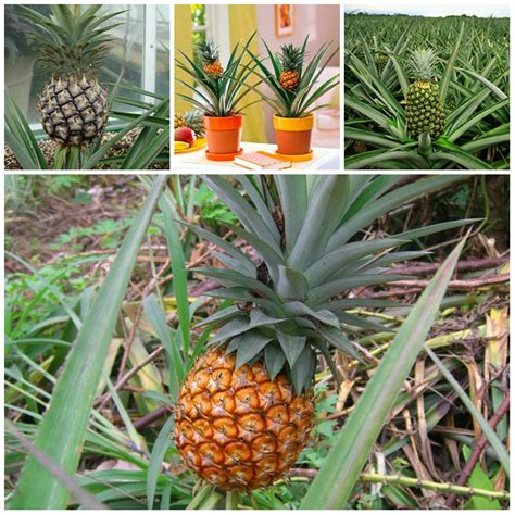 plants at home growing a pineapple at home
