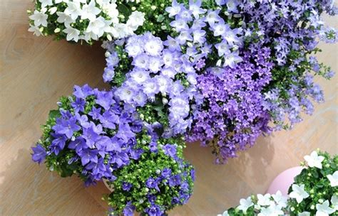 fiori sui balconi fiori di primavera