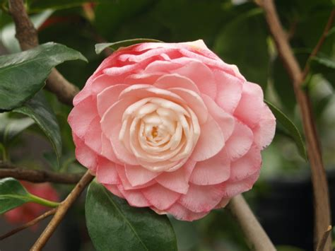 camellia japanese camellia japonica monthly plant care calendar