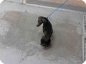 dachshund puppies tacoma wa vinnie chocolate dapple dachshund available for adoption with furever dachshund rescue