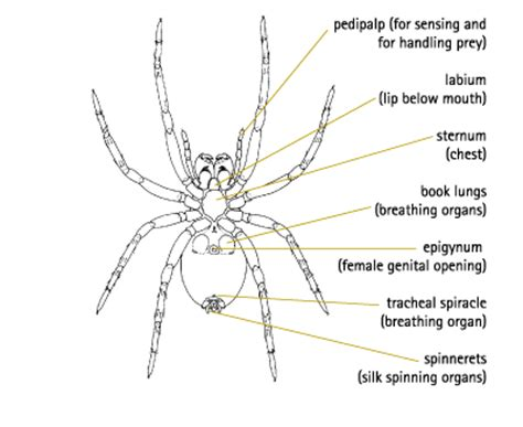 diagram of a black widow spider wolf spider cycle