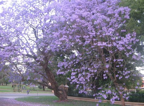 jacaranda tree keeping her in the light