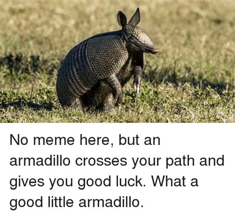 Armadillo Meme - i no meme here but an armadillo crosses your path and