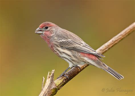 house finch facts image gallery house finch