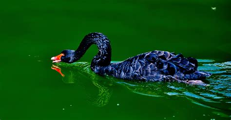 black swans stock photos images pictures shutterstock black swan free stock photo public domain pictures