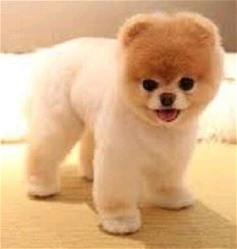 breed that looks like a teddy 10 amazing dogs that look like bears