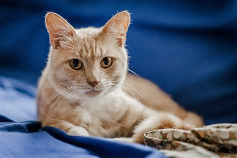 a cat for caring for a cat with asthma feline asthma blue cross
