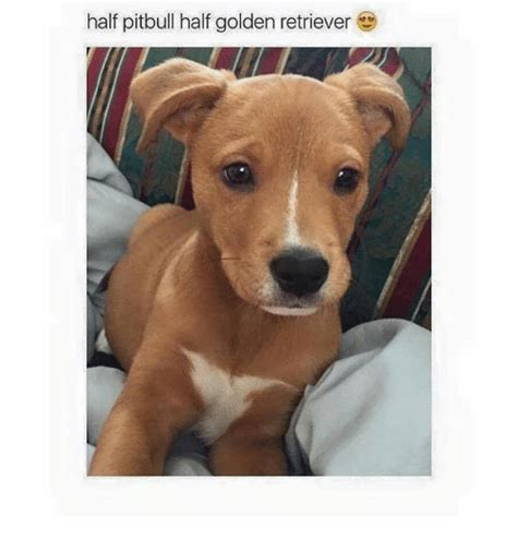 half golden retriever half pitbull 25 best memes about golden retriever golden retriever memes