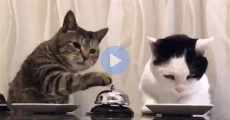 cats ringing bells  treats   greatest video