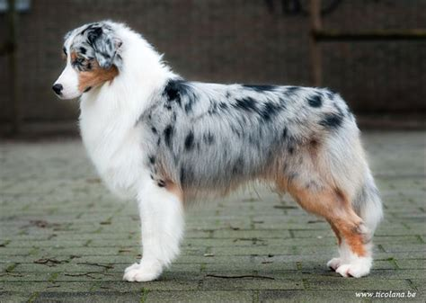 blue merle australian shepherd puppies best 25 blue merle australian shepherd ideas on australian shepherd