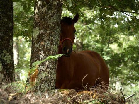 caballo cogida brutal por detras se escondia detras del arbol el caballo acebo c 225 ceres