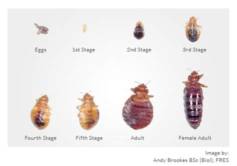 types of bed bugs bed bug types pictures bangdodo