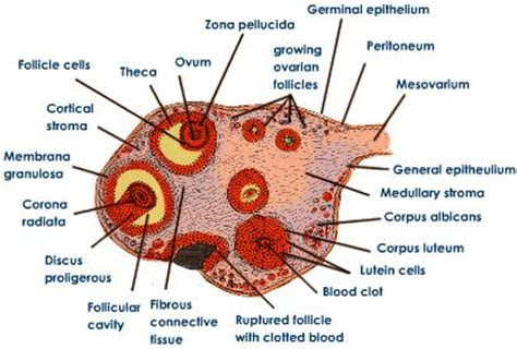 section of ovary female reproductive system in human tutorvista com