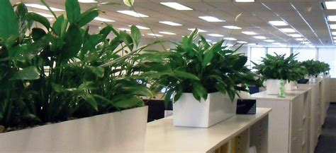 plant partition spathiphyllum in partition trough gaddys plant hire