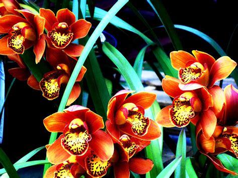 come si curano le orchidee in vaso orchidee passione giardini nel mondo
