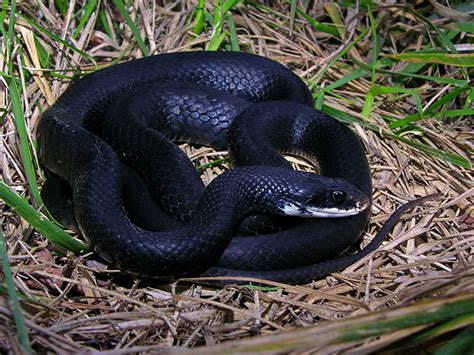 black racer southern black racer facts and pictures reptile fact