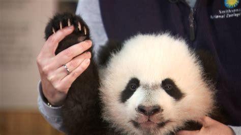 Baby Panda One say hello to bei bei the baby panda