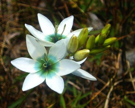flower pics flowers encyclopaedia ixia flower