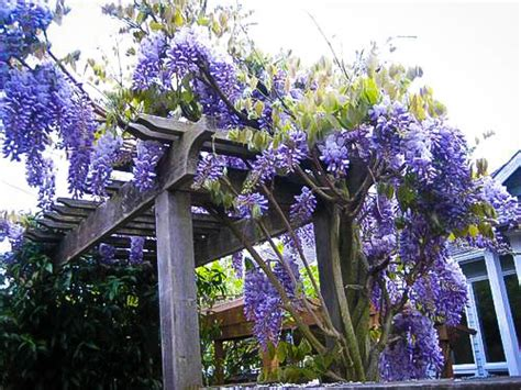 blue moon wisteria for sale the tree center
