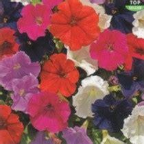 Benih Bunga Lavender Malaysia petunia biji benih petunia bunga petunia petunia