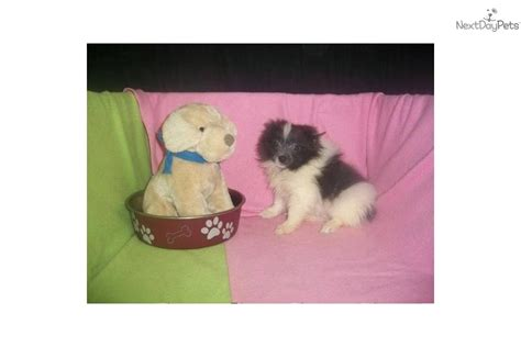 pomeranian puppies ct meet snickers a pomeranian puppy for sale for 652 pom nj ny ct md de ma