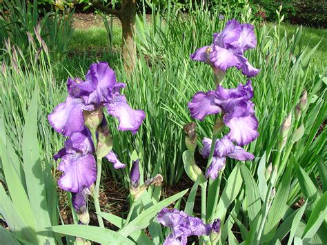 complete care of tall bearded iris what grows there hugh conlon horticulturalist