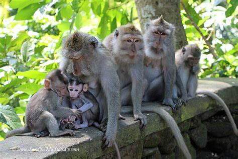 French Colonial by Monkeying Around In The Ubud Monkey Forest Sand In My