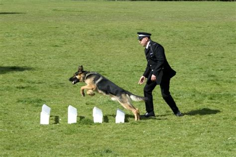 how are k9 dogs trained essex e2bn gallery