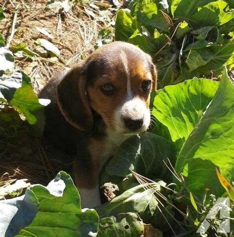 beagle puppies for sale in md beagles puppies for sale in frostburg maryland classified americanlisted