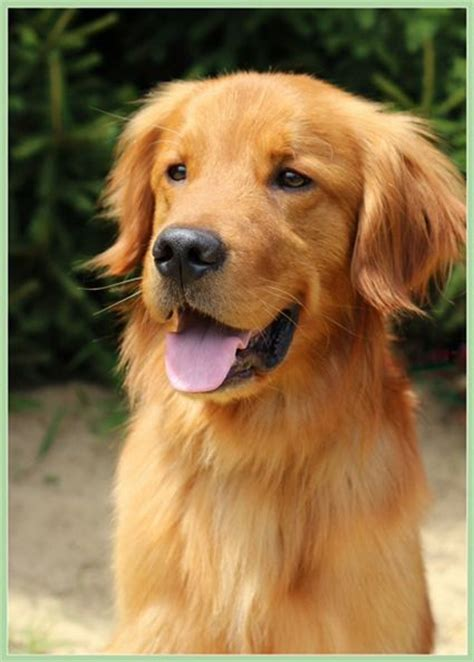 golden retriever rescue boise rescue me probie pictures and images