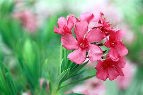 Canada Gardening Zones - oleander plant info how to care for oleander shrubs