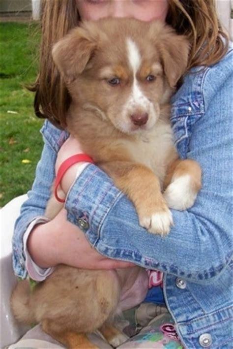 border aussie puppies border aussie breed information and pictures