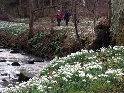 snowdrop gardens to visit across the uk saga