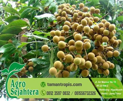 Bibit Kelengkeng Yang Sudah Berbuah jual bibit pohon kelengkeng unggul sudah berbuah
