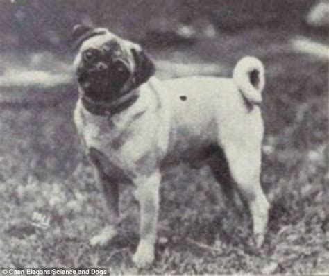 dogs now pictures that show how 100 years of has changed breeds daily mail