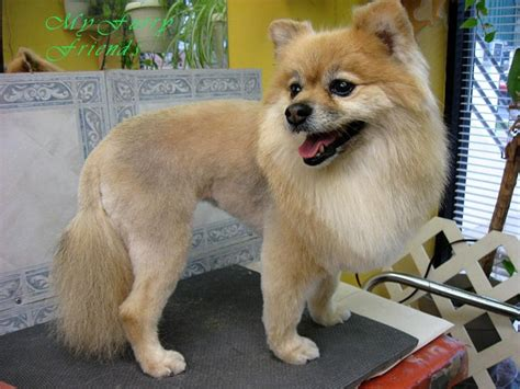 best pomeranian haircut 25 best ideas about pomeranian haircut on haircuts grooming