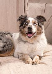puppies for adoption st louis mo view ad australian shepherd for adoption missouri st louis usa