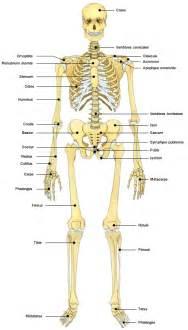 anatomie atlas du humain squelette doctissimo